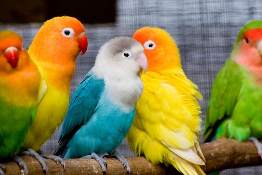 papousek